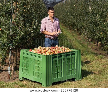 Handsome Farmer With Tablet Standing Beside Large Plastic Crate Full Of Apples In Modern Orchard