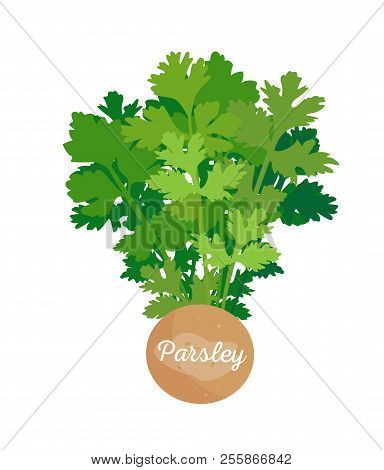 Parsley Poster And Spice, Vector Illustration