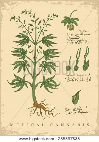 Hand-drawn Botanical Vector Illustration In Retro Style With Plant Of Medical Cannabis. Page Of An O