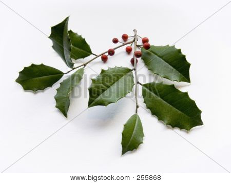 Holly Leaves
