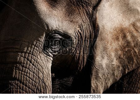 Elephants Are Large Mammals Of The Family Elephantidae And The Order Proboscidea. Detail Face Africa