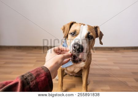 Trained Intelligent Dog Taking Food From Human. Owner Gives Treat To A Staffordshire Terrier Puppy I
