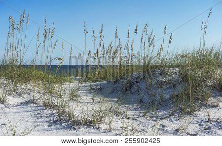 Ripe Sea Oats Border A Footpath Through The Dunes On A Pensacola, Florida Beach
