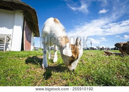 Goat Eating Grass At A Farm In The Summer With A Beautiful Blue Sky In The Background