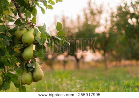 Pear Fruit Garden With Grown Sweet Green Pears