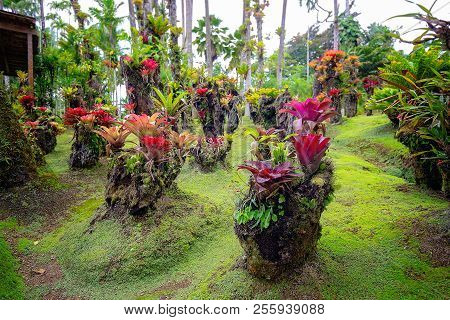 Tropical Balata Garden In Martinique. Beautiful Bromeliaceae In Tropical Garden In Martinique.