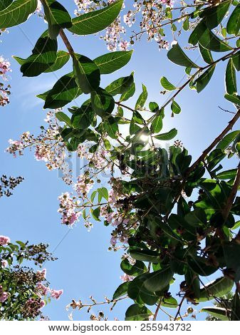 Tabebuia Rosea Is A Pink Flower Neotropical Tree And Blue Sky. Common Name Pink Trumpet Tree, Pink P