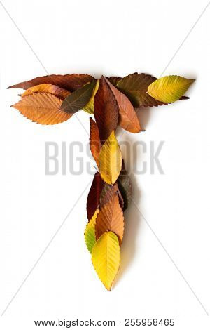 Letter T of colorful autumn leaves. Character T  mades of fall foliage. Autumnal design font concept. Seasonal decorative beautiful type mades from multi-colored leaves. Natural autumnal alphabet.