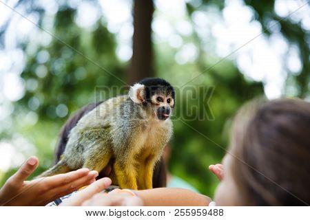 Squirrel Monkey (saimiri Boliviensis) Sitting On The Woman Shoulder.