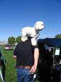 this is a senior man and his best friend ,a poodle,sitting on his shoulder viewing the classic autos at a park. poster