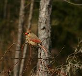 Cardinals have arrived and I was fortunate to get this photo of a beautiful female. poster