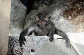 Crab-eating Macaque, Baby Monkey, In Pulau Weh, Sumatra, Indonesia
