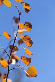 Yellow And Orange Autumn Aspen Leaves With Blue Sky, Wyoming