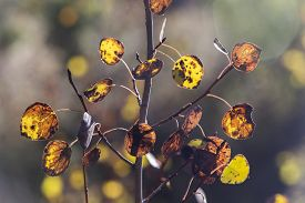 Yellow And Orange Autumn Aspen Leaves With Brown Spots, Wyoming