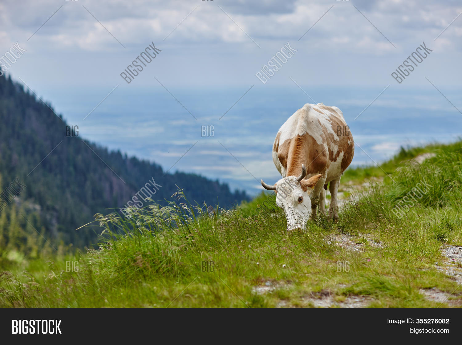 Brown White Cow Eating Image Photo Free Trial Bigstock