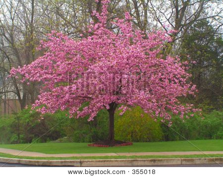 Cherry Kwanzan Tree In Bloom