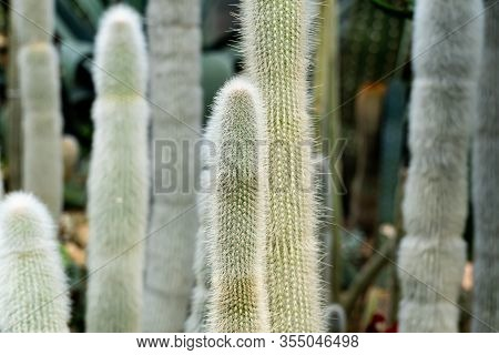 Cleistocactus Strausii, Commonly Known As The Silver Torch Or Wooly Torch, Is A Perennial Cactus Of
