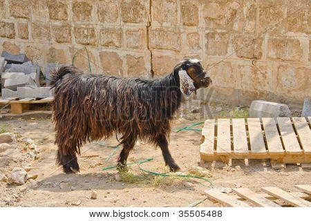 Goat in Harran, Turkey