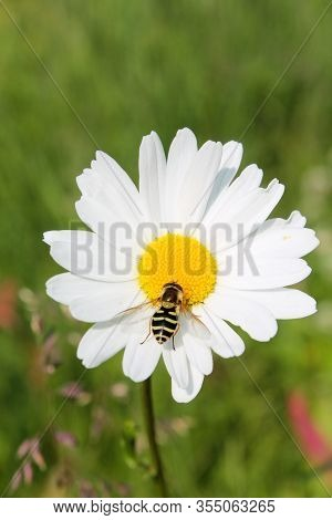Picture Of Hoverfly Sitting On Oxeye Daisy Herb. Herbal Medicine, Tea And Infusion, Natural Cosmetic