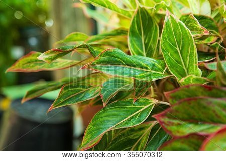 Top View Of Green And White Aglaonema Plant (chinese Evergreens) In Garden With Blank Right Side For