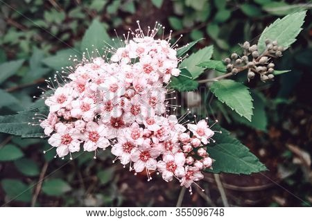 Macro Photo Of Nature Flowering Bush Spiraea. Background Texture Of A Bush With Blooming Pink Flower