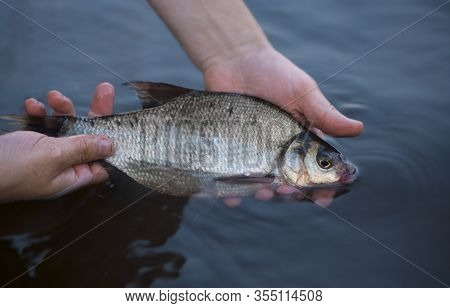 The Common Bream (abramis Brama) Is In Water In The Caucasian Male Hands. The Release Of The Fish In