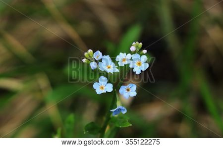 Wonderful Myosotis Sylvatica With Blue Petals Settled In Beskydy Lands. Typical Wild Flower In Summe
