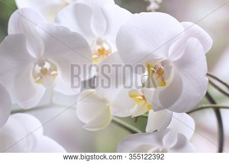Beautiful White Orchids On A Delicate Background. White Phalaenopsis Orchid Close -up.