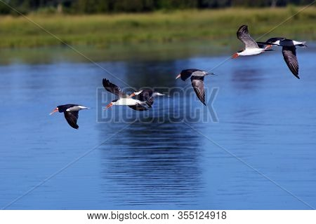 The African Skimmer (rynchops Flavirostris), Flock Of Birds Flying On Blue Surface Of River. Typical