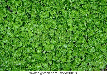 Abstract water plant green leaves background, shot from directly above