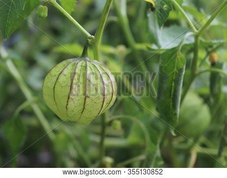 Home Grown Organic Tomatillo , Physalis Philadelphica. Growing In A Vegetable Garden. Eaten Raw Or C
