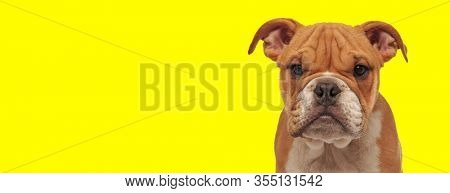 close up of a beautiful english bulldog dog with brown fur looking at camera happy on yellow studio background