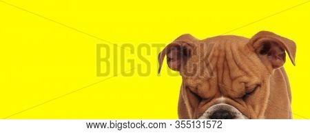 close up of an adorable english bulldog dog with brown fur sleeping on yellow studio background