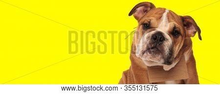 close up of a cute english bulldog dog wearing a carton board on neck and looking at camera sad on yellow studio background