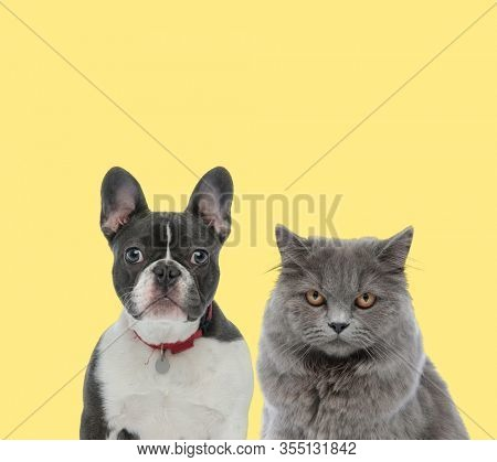 adorable french bulldog dog wearing red collar next to a british longhair cat looking at camera with mad eyes on yellow background