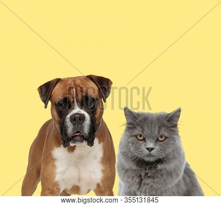 cute boxer dog looking at camera next to a british longhair cat with mad eyes on yellow background