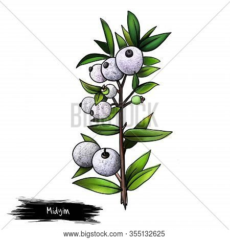 Midyim Isolated On White Background. Digital Art. Midgen Berry, Midyim, Or Austromyrtus Dulcis Is A