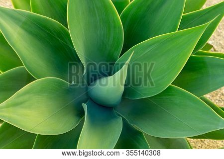 Abstract Top View Of The Agave Plant Dragon Tree, Blue Fox Tail Agave Floral Green Pattern