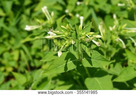 Marvel Of Peru White Flower Buds - Latin Name - Mirabilis Jalapa