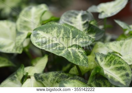 Butterfly Plant Pixie Leaves - Latin Name - Syngonium Pixie