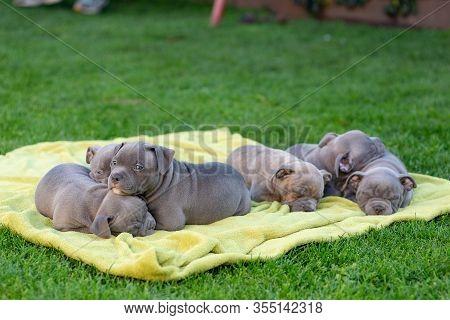 American Bulli Puppies Fall Asleep On A Grass Rug In A Park.