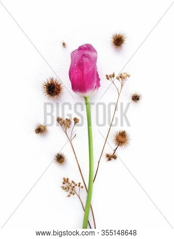 Lonely Pink Tulip, Drops Of Dew Or Spring Water On Flower And Dry Wildflowers, Spiky Bur Of Burdock