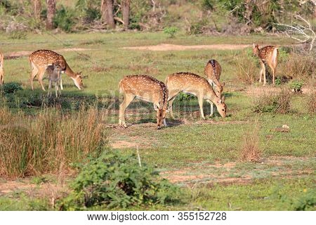 Herd Of Sri Lankan Axis Deer, Axis Axis Ceylonensis. Also Called Ceylon Spotted Deer. National Park