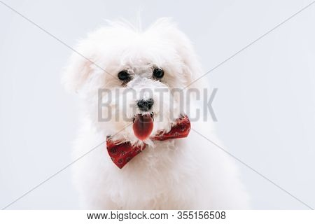 Havanese Dog With Red Bow Tie Sticking Out Tongue Isolated On Grey