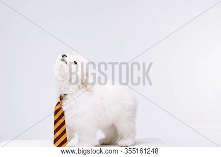 Cute Havanese Dog Striped Tie Looking Up On White Surface Isolated On Grey