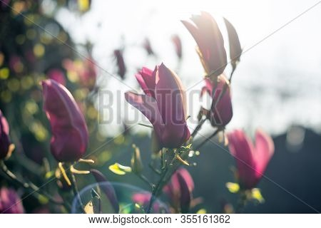 Magnolia Tree Blossom In Spring. Beautiful Fresh Pink Flowers In The Morning. Magnolia Tulip Tree. C