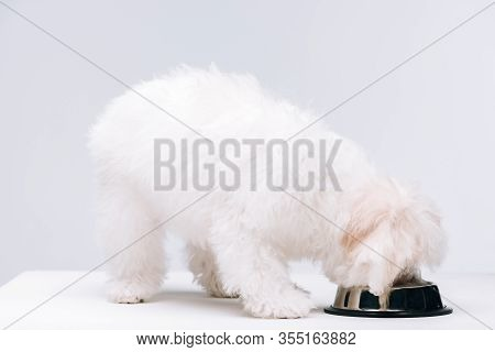 Bichon Havanese Dog Eating Dog Food From Bowl On White Surface Isolated On Grey