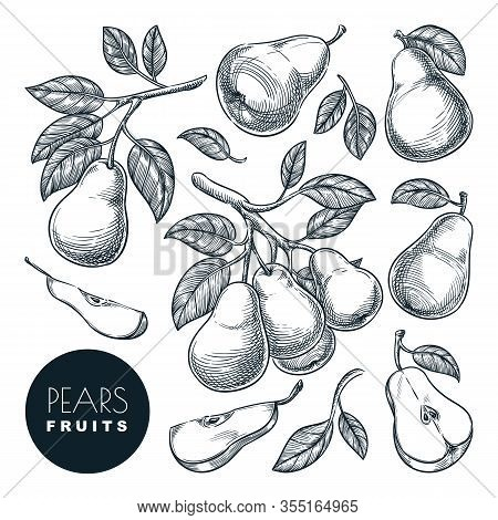 Pears Sketch Vector Illustration. Sweet Fruits Harvest, Hand Drawn Garden Agriculture And Farm Isola