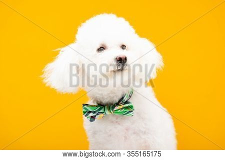 Bichon Havanese Dog In Bow Tie Isolated On Yellow