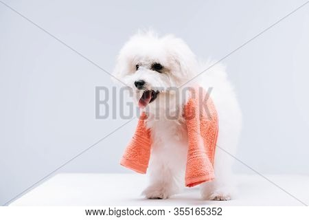 Bichon Havanese Dog With Towel On White Surface Isolated On Grey